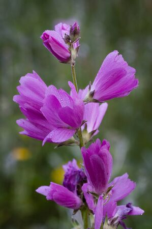 refuge: Meadow Checkermallow (Sidalcea campestris). Finley National Wildlife Refuge, Willamette Valley, Oregon