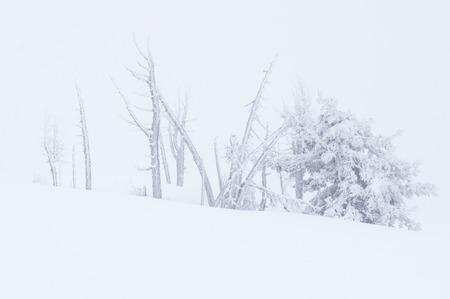Stand of snow covered trees at timberline on Mt Hood, Oregon Stock Photo