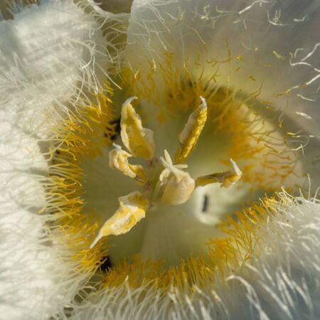 Subalpine Mariposa Lily (Mariposa subalpinus) Imagens - 94013778