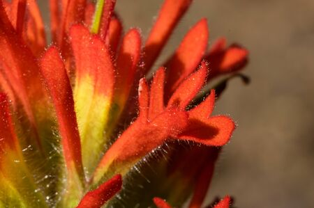 Harsh Paintbrush (Castilleja hispida). Iron Mountain, Oregon