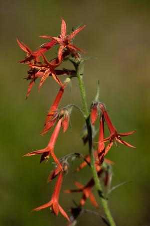 Scarlet gilia (Ipomopis aggregata).  Iron Mountain, Oregon. Stock fotó