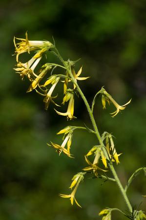 Yellow form of Scarlet gilia (Ipomopis aggregata).  Iron Mountain, Oregon.