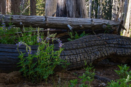 Lupine (Lupinus sp) provides nitrogen to the soil to aide in forest regeneration.