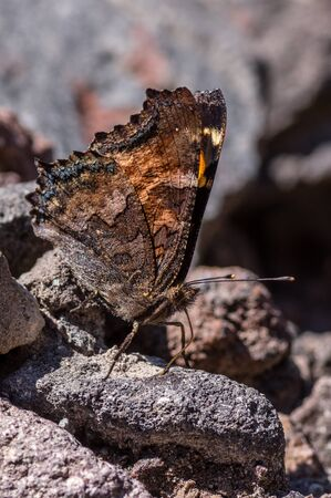 California Tortoiseshell (Nymphalis californica)