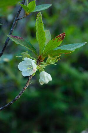 White Rhododendron (Rhodendron albiflorum). Cascade Mountains, Oregon