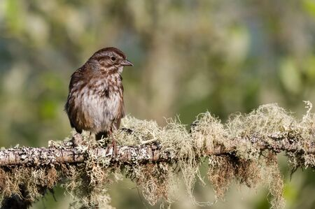 Song Sparrow (Melospiza melodia) perched on a lichen covered branch.