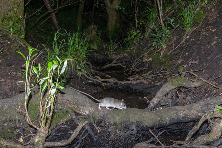 Norway (Rattus norvegicus) rat crosses a stream at night in a common area next to housing development.