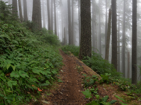Fog in an Old-growth forest in Pacific Northwest.