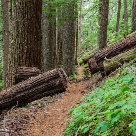 Fallen old growth Douglas Fir trees along the North Ridge Trail in Mary Peak National Recreation Area. Western Oregon