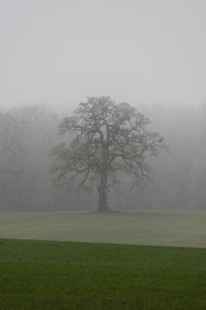 Oregon White Oak (Quercus garryana) in the fog. Willamette Valley, Oregon Stock Photo