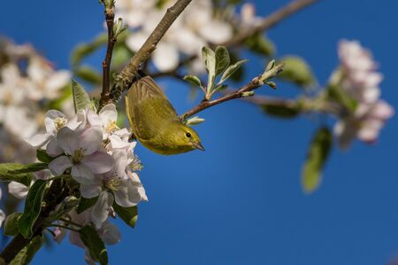 Orange-crowned Warbler (Oreothlypis celata) and apple blossoms in the Willamette Valley, Oregon.