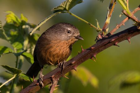 Heres looking at ya! Wrentit (Chamaea fasciata) on blackberry stem covered with thorns.Willamette Valley, Oregon