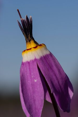 Shooting Star (Dodecatheon sp.). Willamette Valley, Oregon Stock Photo