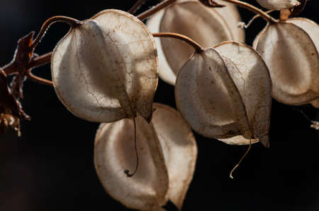 Seed pods 2- Seeds of Common Large Monkeyflower (Mimulus guttatus) Stock fotó
