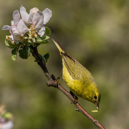 Orange-crowned Warbler (Vermivora celata) feeding on worms in a flowering apple tree.
