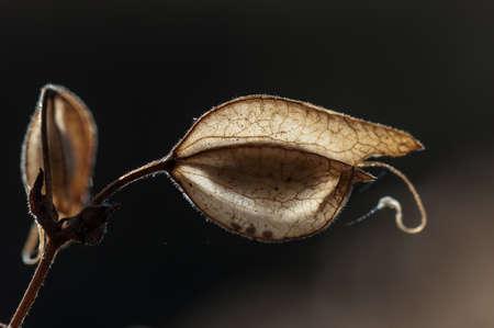 Seed pods - Seeds of Common Large Monkeyflower (Mimulus guttatus) Stock fotó