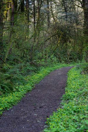 Yellow Violets (Viola glabella) line a trail in Western Oregon.