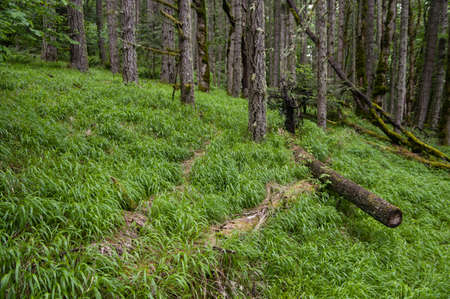 Invasive False Brome (Brachypodium sylvaticum) covers the forest floor in western Oregon. Stock Photo