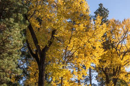 Ponderosa Pine and Cottonwoods along the Cle Elum River, Washington.