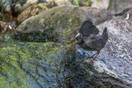 Screaming Mad.... Young American Dipper begging for food. Stock Photo