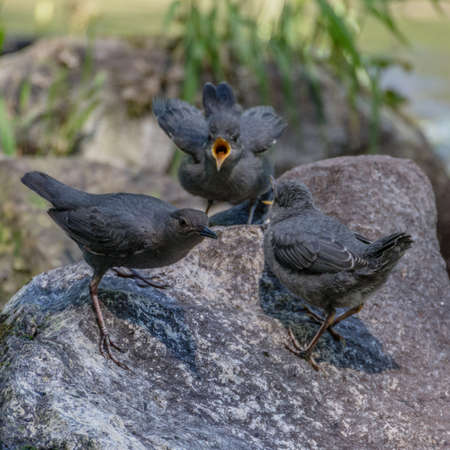 Young American Dippers and adult. Oregon