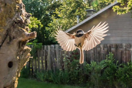 Black-capped Chickadee ( Poecile atricapillus) bringing an insect to it's young in a nesting cavitiy in an urban backyard.