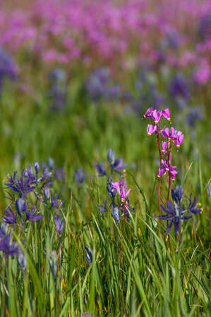 Camas Lilies and  Shooting Stars. Willamette Valley,Oregon.