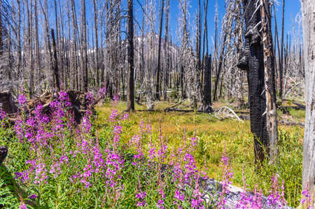 Fireweed (Chamaenerion angustifolium) in a burned forest in the Oregon Cascades. Stock Photo