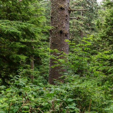 An old-growth Sitka Spruce (Picea sitchensis) emerges from the dense understory of an Oregon rainforest.