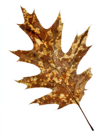 Brown Oak Leaf in the Autumn Stock Photo