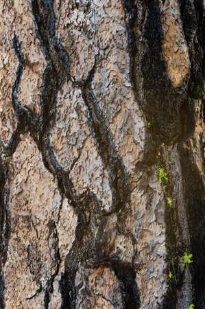 Bark of a Ponderosa Pine along the Cle Elum River in Washington showing signs of surviving a wildfire.