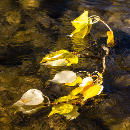 Cottonwood leaves in the Cle Elum River, Washington. Banque d'images