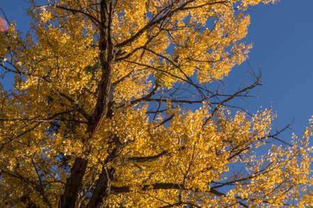 Cottonwoods along the Cle Elum River, Washington.