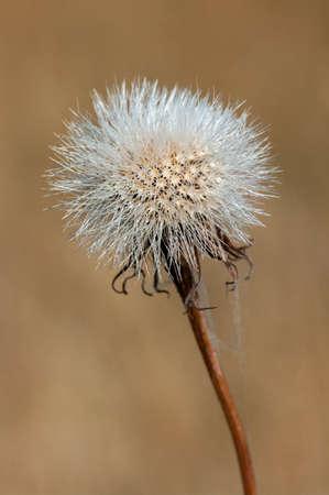 Cutleaf Silverpuffs (Microseris laciniata) seed head. Stock Photo