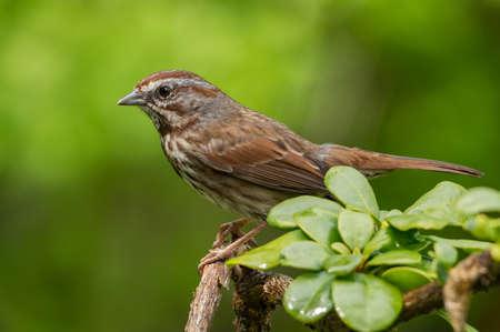 Song Sparrow (Melospiza melodia).