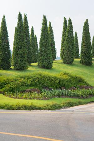 Nice Nice Shape Pine Tree In Royal Pavilion Garden, Chiang Mai, Thailand Stock  Photo