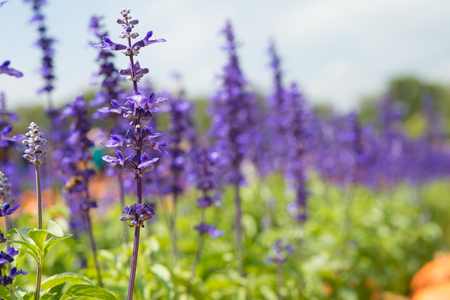 hillside: Beautiful lavender flower in garden hillside Stock Photo