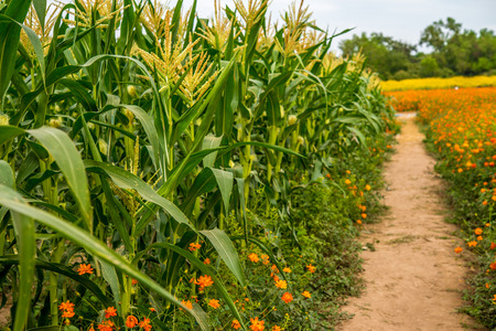corn flower: Beautiful corn field and flower garden
