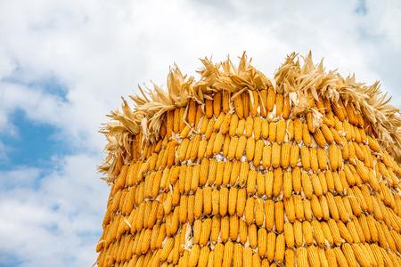 maize: Ripe golden maize Stock Photo