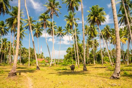 Beautiful coconut palm trees farm in Koh Samui island Thailand Фото со стока