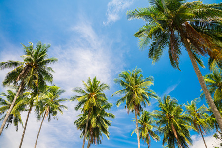 Beautiful coconut palm trees farm in Koh Samui island Thailand - Summer holiday concept Фото со стока