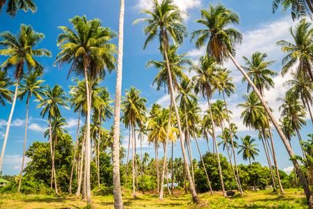 Beautiful coconut palm trees farm in Koh Samui islands, Travel summer holiday tropical island concept