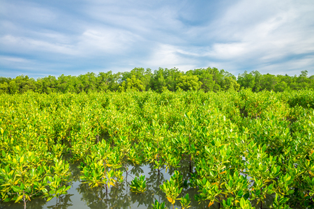 Mangrove forest in Thailand Imagens