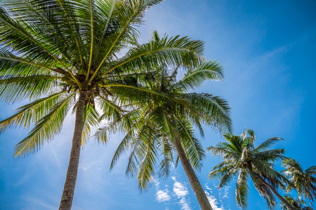 Coconut palm trees farm with sunlight