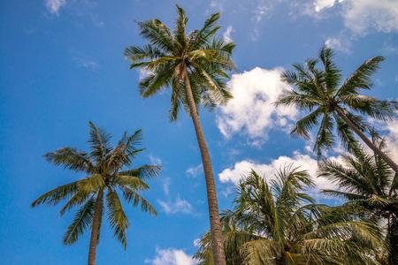 Coconut palm trees farm with sunlight against blue sky
