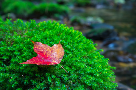 Red maple leaf on green moss beside canal waterfall - selective focus Stock Photo