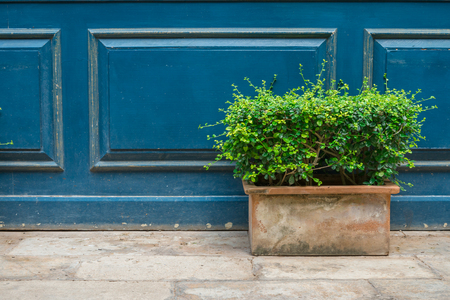 Green bush pot on blue wooden wall background