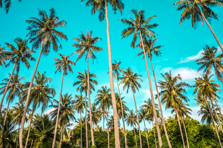 Beautiful coconut palm trees farm with sunlight in Koh Mak island Thailand