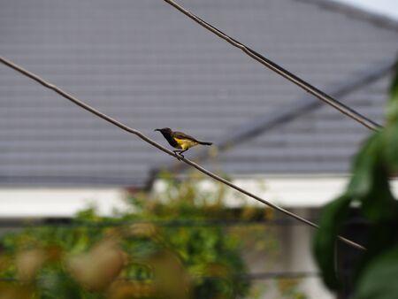 sunbird: Brown-throated Sunbird Stock Photo