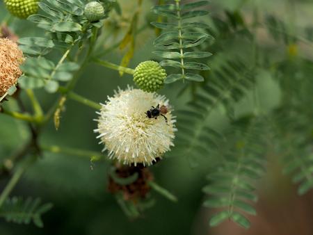 tamarindo: Abeja y Leucaena flor en un jardín